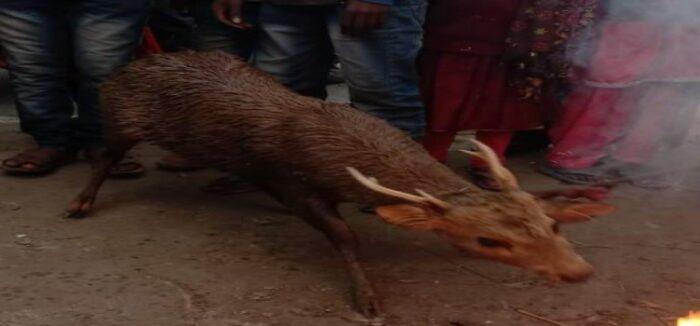 इसुआपुर में मिला हिरण का बच्चा